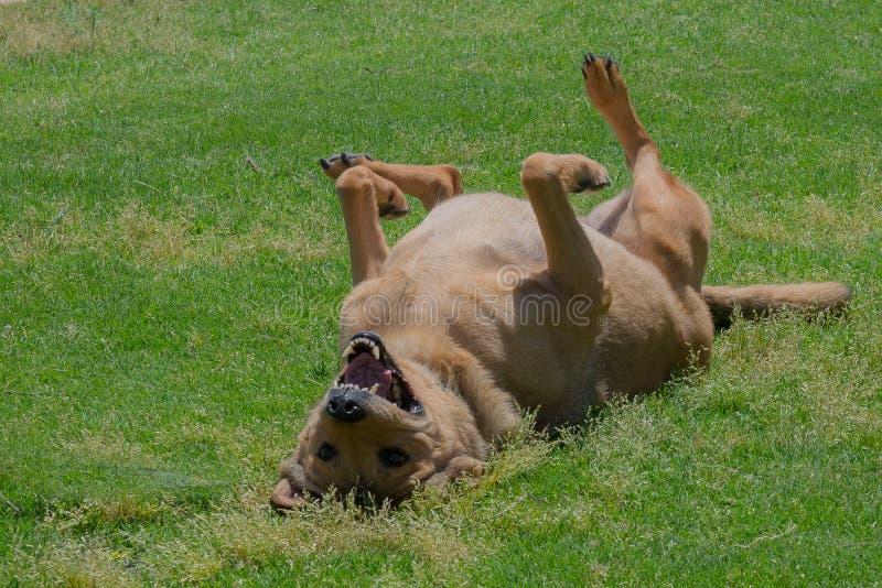 Cão feliz que encontra-se na grama foto de stock