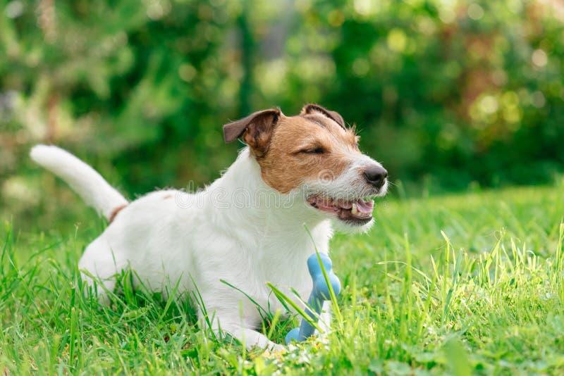 Cão feliz que joga com o osso do brinquedo no gramado da grama verde fotos de stock royalty free