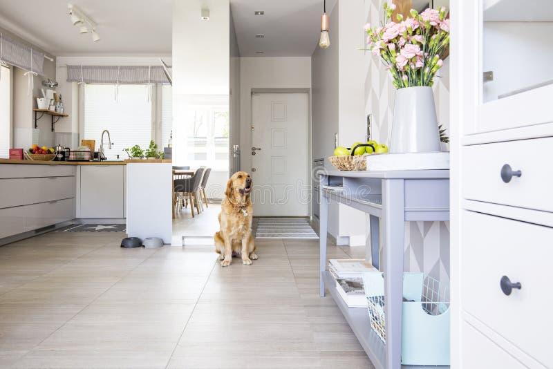 Cão feliz que senta-se no interior da cozinha do espaço aberto na foto real w fotografia de stock royalty free
