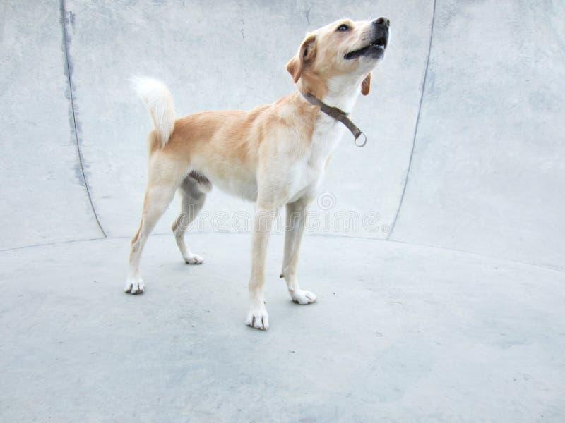 Cão Foxy foto de stock