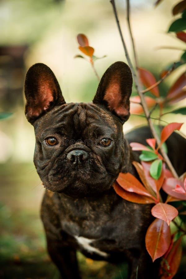 cão francês pequeno do touro do preto bonito do retrato para sentar-se na grama Floresta verde no fundo fotos de stock