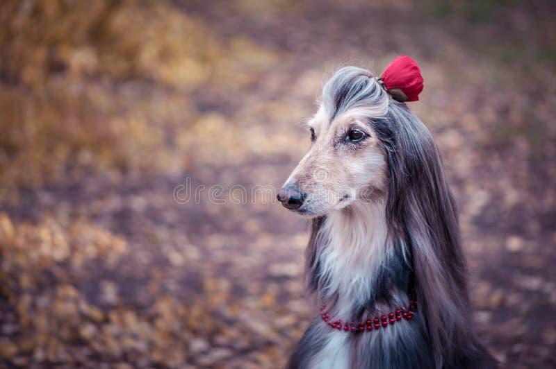 Cão, galgo afegão com uma flor em um cabelo imagem de stock royalty free
