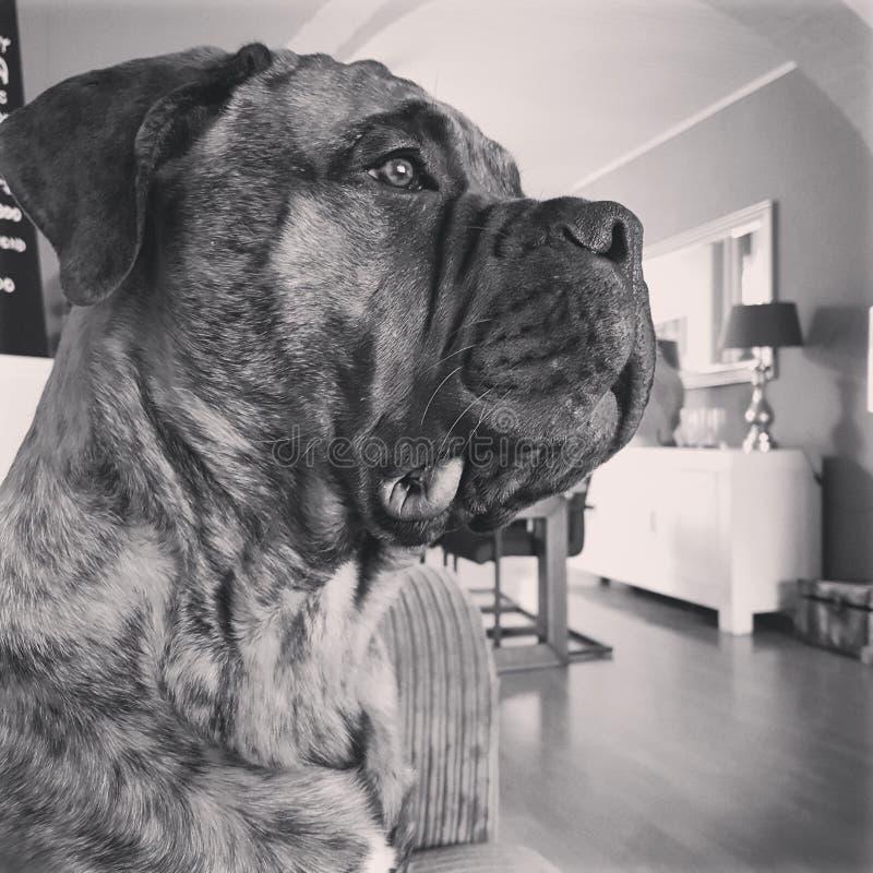 Cão gigante fotografia de stock royalty free