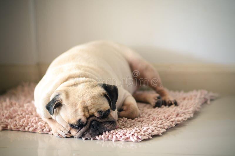 Cão gordo sonolento engraçado do Pug com goma no resto do sono do olho no assoalho da esteira imagens de stock royalty free