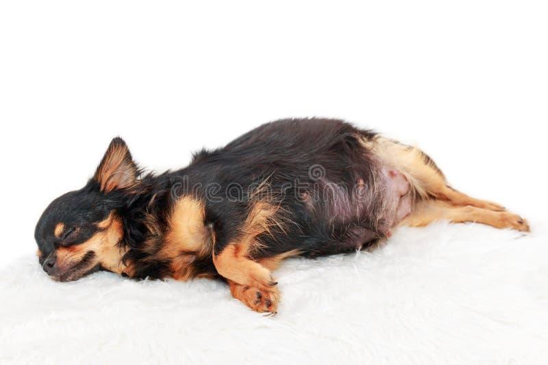 Cão grávido da chihuahua fotos de stock royalty free