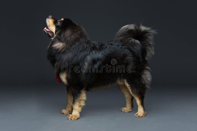 Cão grande bonito do mastim tibetano fotografia de stock