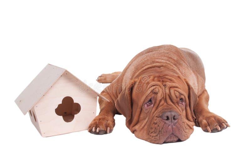 Cão grande com casa pequena imagens de stock royalty free