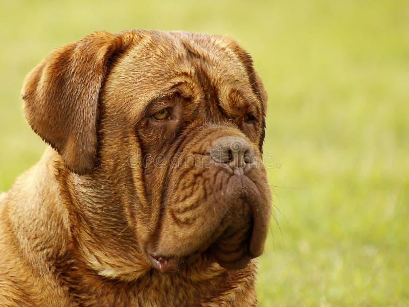 Cão grande - mastim do Bordéus fotografia de stock