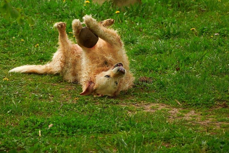 Cão grande que joga a bola na grama imagens de stock