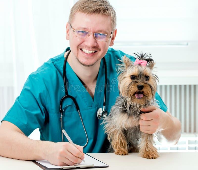 Cão guardando veterinário do yorkshire terrier nas mãos imagem de stock