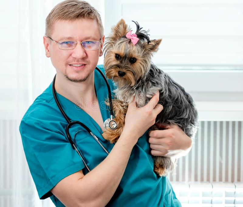 Cão guardando veterinário do yorkshire terrier nas mãos fotos de stock royalty free