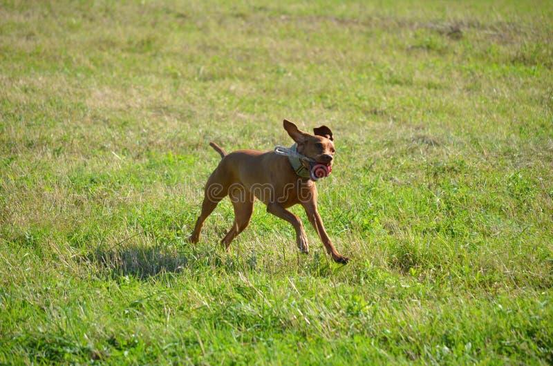Cão húngaro foto de stock