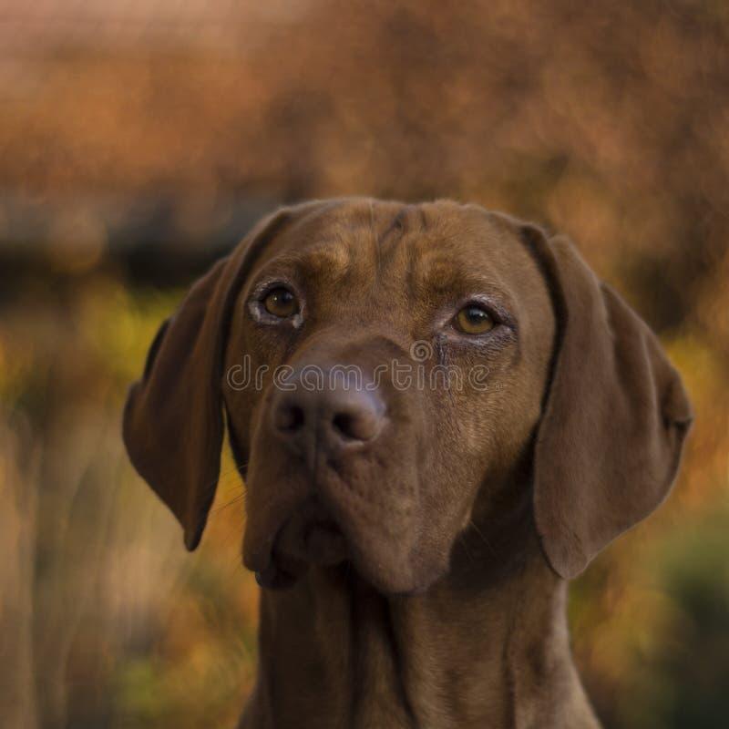 Cão húngaro de Vizsla fotos de stock royalty free