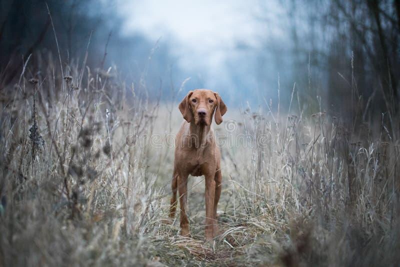 Cão húngaro do vizsla do cão fotos de stock