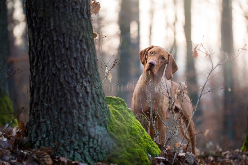 Cão húngaro do vizsla do cão em mais forrest foto de stock