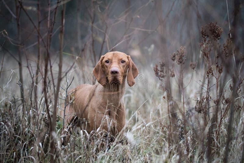 Cão húngaro do vozsla do cão foto de stock royalty free