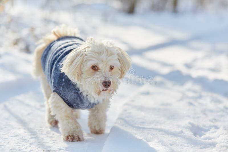Cão havanese branco na neve imagem de stock royalty free