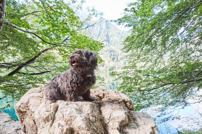 Cão havanese preto que senta-se na pedra na frente do lago imagens de stock
