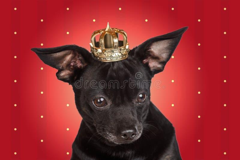 Cão imperioso com uma coroa foto de stock