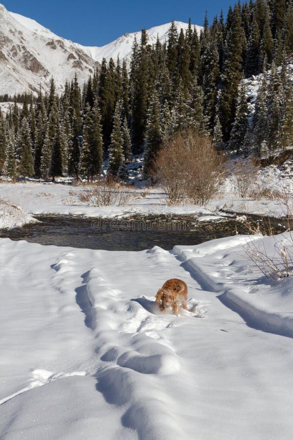 Cão inglês de cocker spaniel que joga na neve imagens de stock