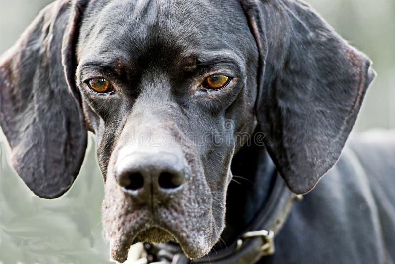 Cão inglês do ponteiro fotografia de stock