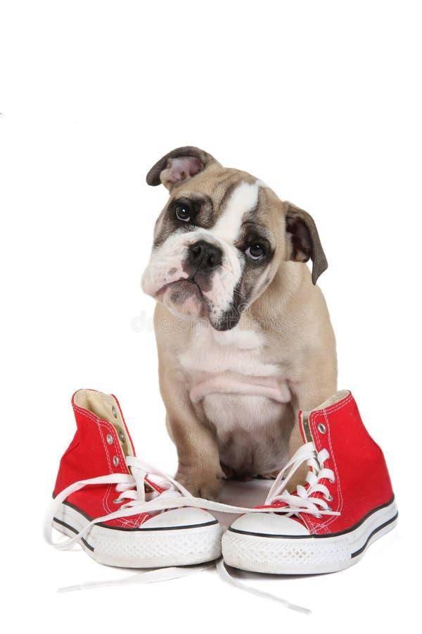 Cão inglês velho bonito do buldogue que senta-se atrás de sapatas vermelhas fotografia de stock royalty free
