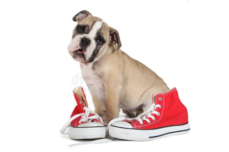 Cão inglês velho bonito do buldogue que senta-se atrás de sapatas vermelhas imagens de stock royalty free