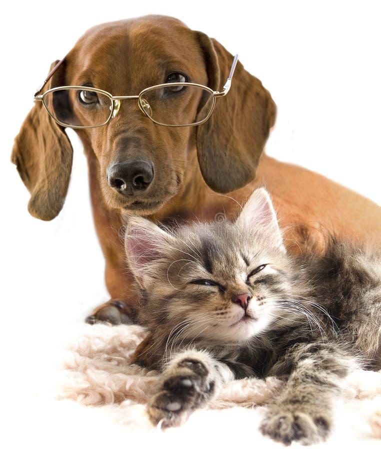 Cão inteligente nos vidros e no gato imagem de stock