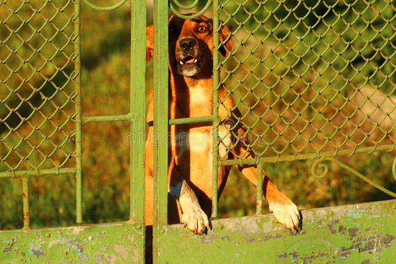 Cão irritado do protetor que descasca um aviso imagem de stock royalty free