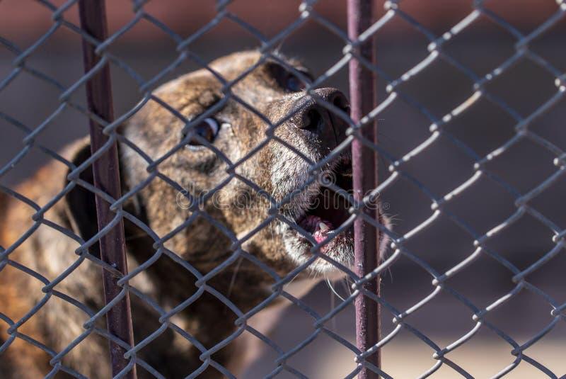 Cão irritado que descasca atrás de uma cerca do metal foto de stock