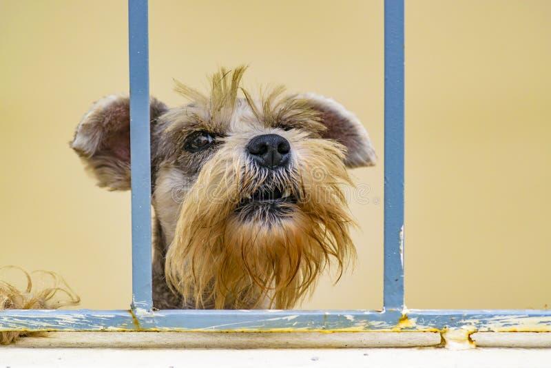 Cão irritado que olha a câmera imagens de stock royalty free