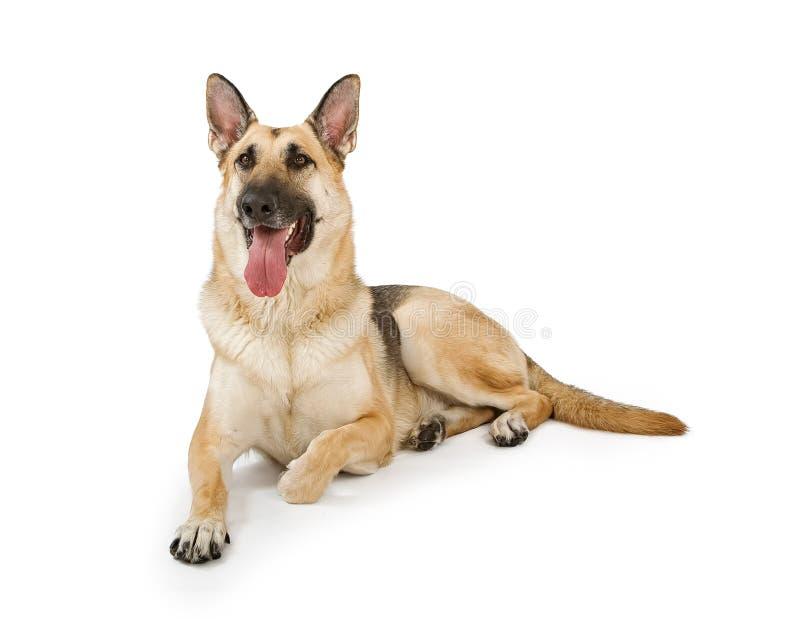 Cão isolado no branco foto de stock royalty free