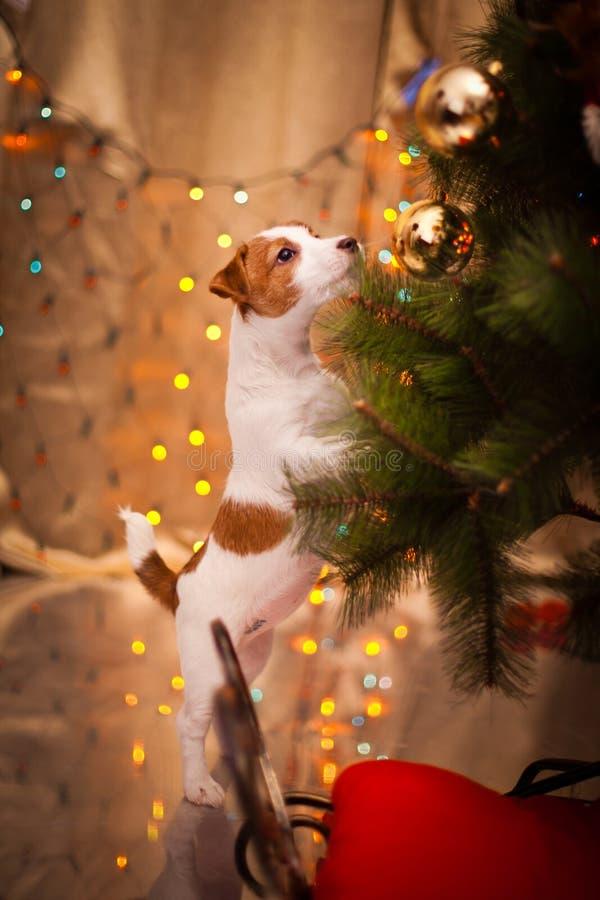 Cão Jack Russel Filhote de cachorro Natal, imagens de stock royalty free