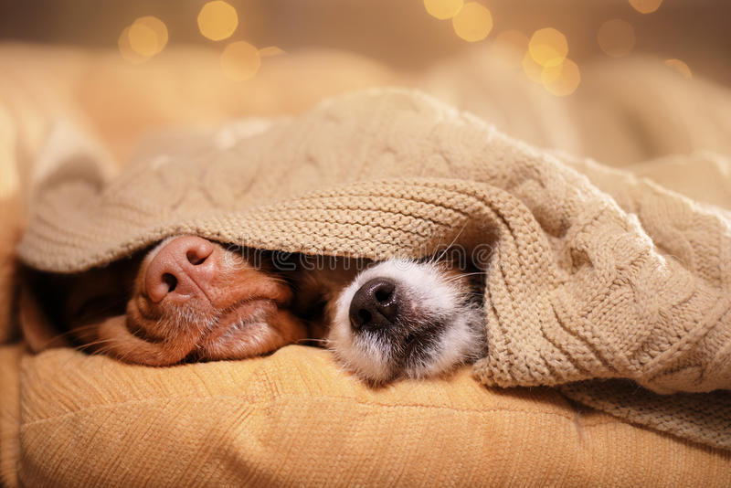 Cão Jack Russell Terrier e cão Nova Scotia Duck Tolling Retriever fotos de stock