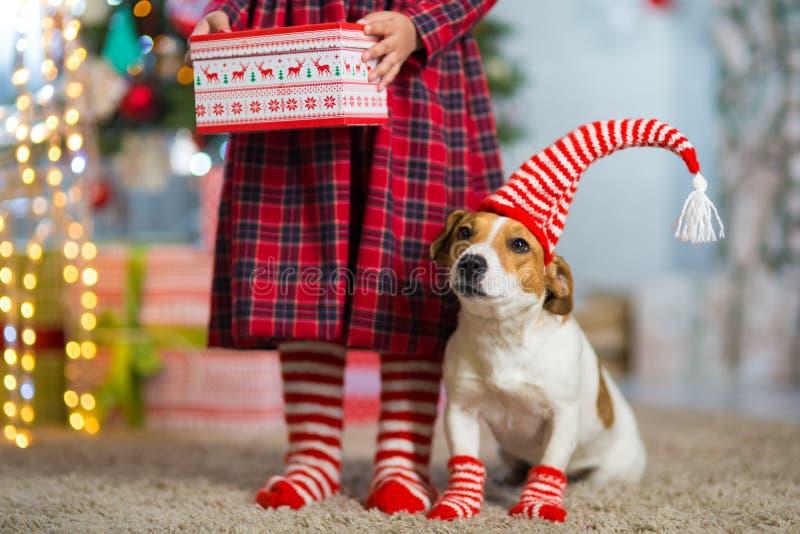 Cão Jack Russell Terrier e pés de uma menina no branco vermelho fotos de stock royalty free