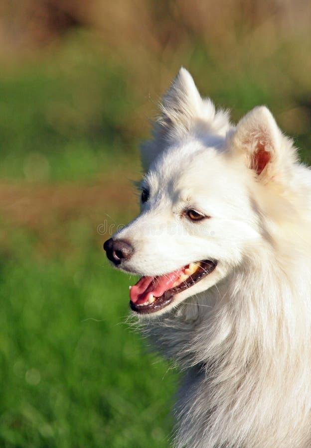Cão japonês alegre do spitz fotografia de stock