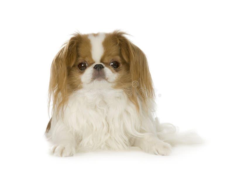 Cão japonês do queixo fotografia de stock