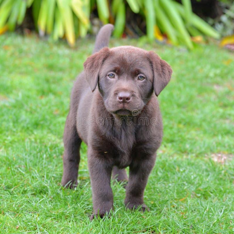Cão Labrador, cachorrinho fotos de stock royalty free