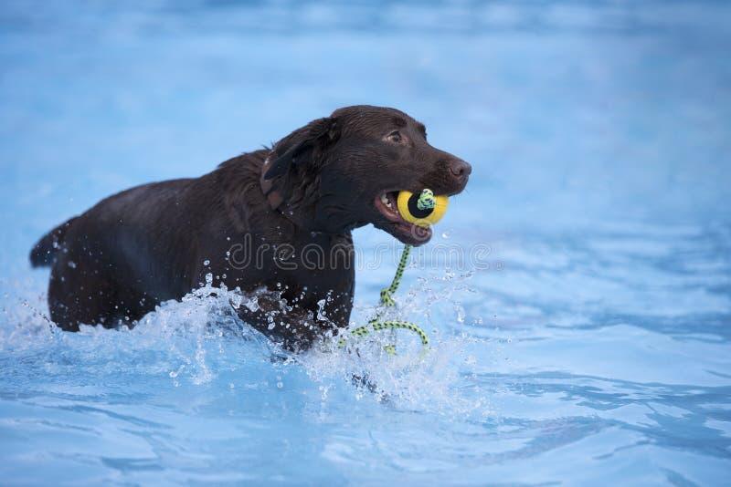 Cão, labrador retriever marrom que busca a bola na piscina fotografia de stock royalty free