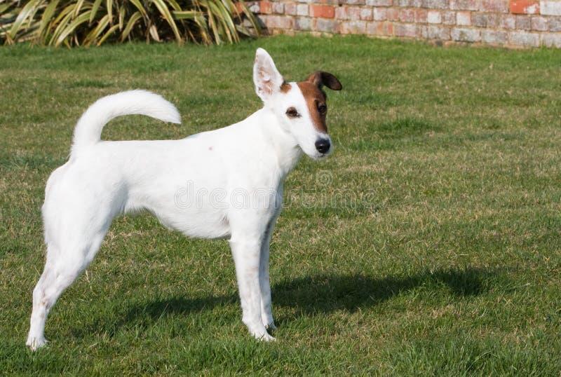 Cão liso do terrier de Fox imagens de stock royalty free