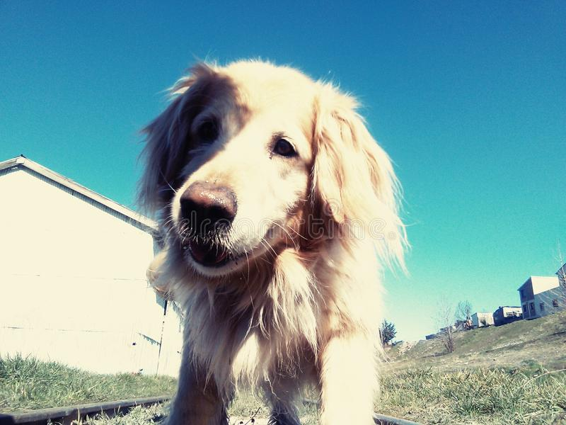Cão louro fotografia de stock