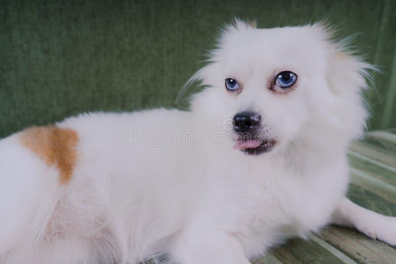 Cão macio branco fresco que descansa em um sofá verde Spitz alemão com olhos azuis imagem de stock
