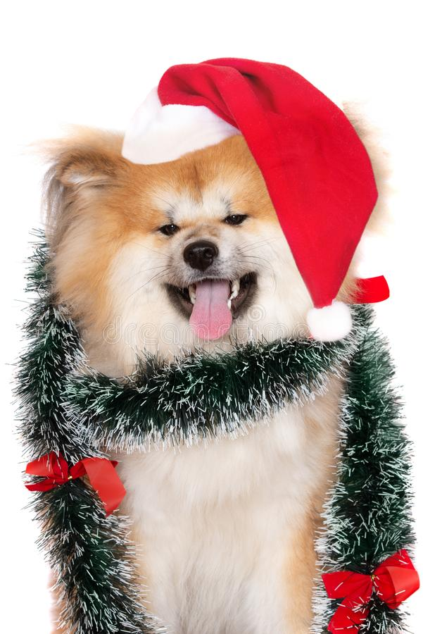 Cão macio de akita no retrato do chapéu de Santa no fundo branco foto de stock