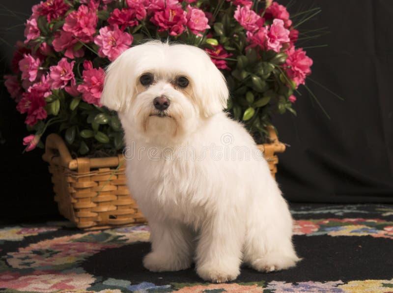 Cão maltês imagem de stock royalty free