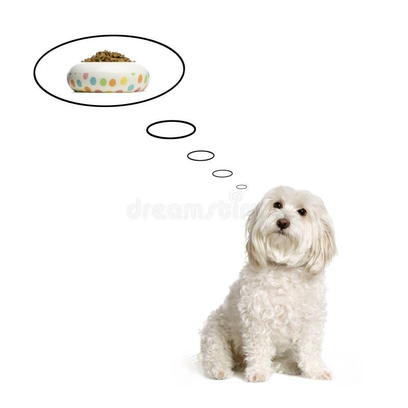 Cão maltês imagens de stock royalty free