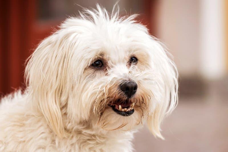 Cão maltês imagem de stock