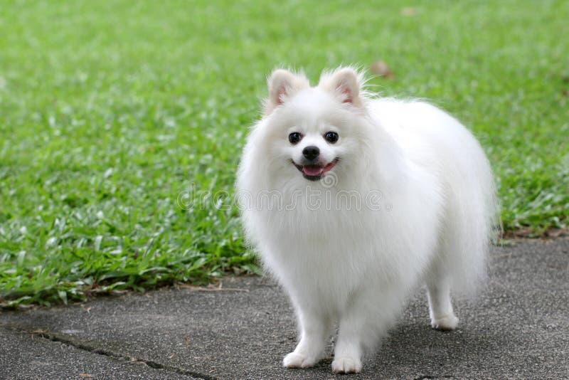 Cão maltês fotografia de stock royalty free