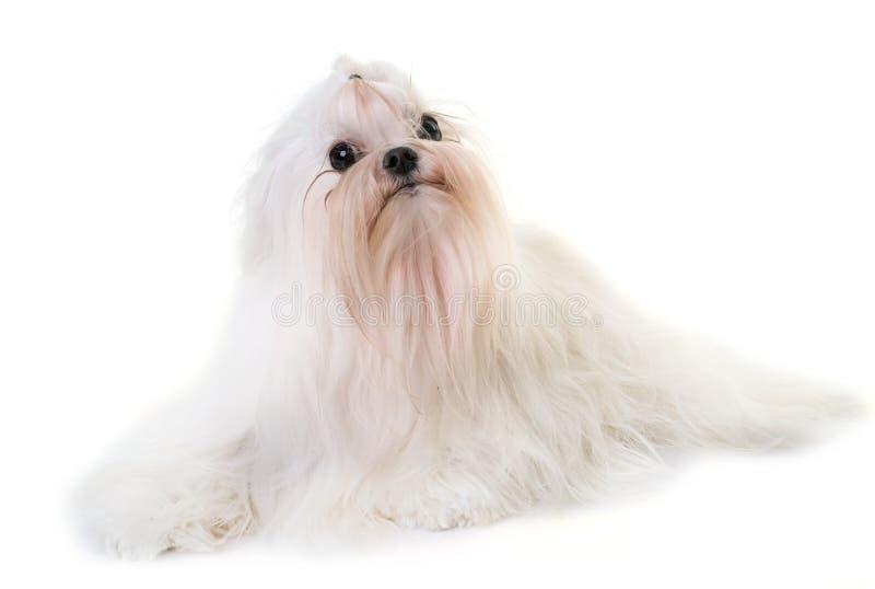 Cão maltês adulto fotos de stock