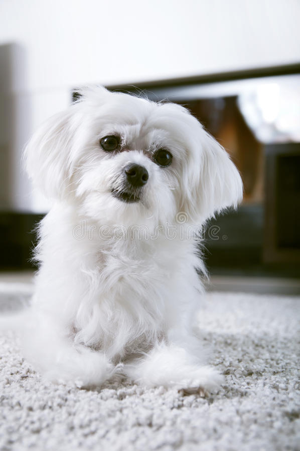 Cão maltês branco que senta-se no tapete foto de stock royalty free