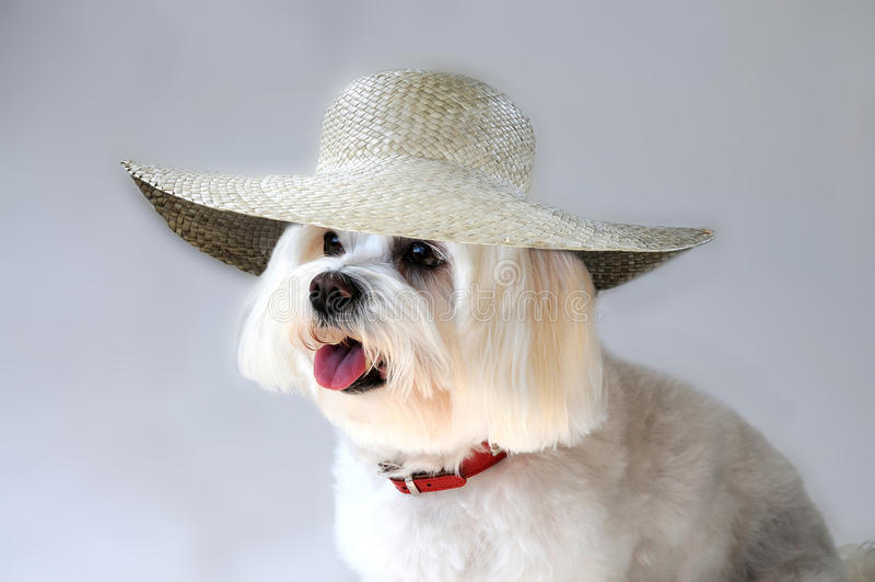 Cão maltês com chapéu de palha fotografia de stock